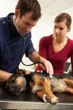 Perro de examen masculino del cirujano veterinario en cirugía fotografía de archivo