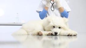 Perro de examen veterinario en la tabla en clínica del veterinario, y aplicaciones el ordenador almacen de metraje de vídeo