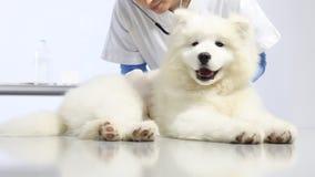 Perro de examen veterinario, estetoscopio de las aplicaciones, en clínica del veterinario almacen de video