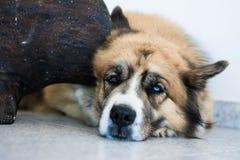 Perro de Fluffly con los ojos mezclados Imagen de archivo