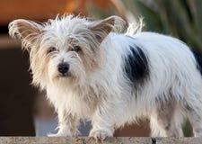 Perro de Gato Russell Fotografía de archivo libre de regalías