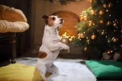 Perro de Gato Russell Estación 2017, Año Nuevo de la Navidad, Imagen de archivo libre de regalías