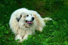 Perro de grandes Pyrenees Imagen de archivo
