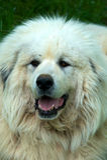Perro de grandes Pyrenees Imagen de archivo libre de regalías