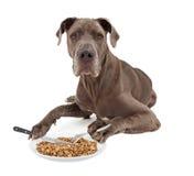 Perro de great dane que come la comida con los utensilios Foto de archivo