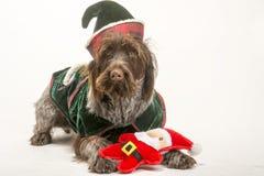 Perro de Griffon vestido para la Navidad foto de archivo