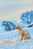 Perro de Groenlandia fotos de archivo libres de regalías