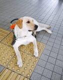 Perro de guía con el ladrillo de la guía Fotografía de archivo