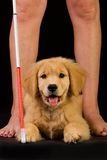 Perro de guía para las persianas en el entrenamiento Imagenes de archivo