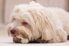 Perro de Havanese con un hueso Fotos de archivo
