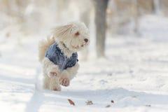 Perro de Havanese que corre y que juega en la nieve Foto de archivo libre de regalías