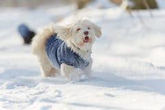 Perro de Havanese que corre y que juega en la nieve Imagenes de archivo