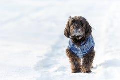 Perro de Havanese que espera y que mira en nieve Imagen de archivo libre de regalías