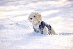 Perro de Havanese que espera y que mira en nieve Foto de archivo libre de regalías