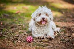 Perro de Havanese que miente en el bosque con la bola Fotografía de archivo