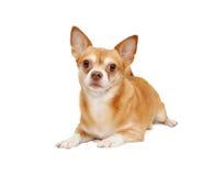 Perro de hua de la chihuahua, aislado Fotos de archivo