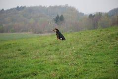 Perro 5 de Huntaway que tiene un buen rato en un prado inglés imagenes de archivo