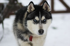 Perro de Huskey Fotografía de archivo