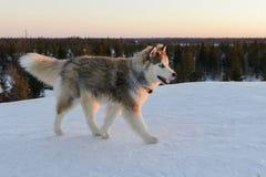 Perro de Huski en la península de Yamal Foto de archivo libre de regalías