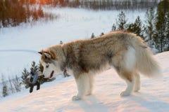 Perro de Huski en la península de Yamal Foto de archivo