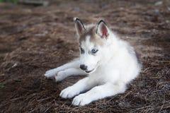 Perro de Husky Puppy del siberiano que se sienta en la tierra en color del vintage Fotos de archivo