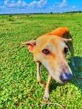 Perro de itinerancia en Sri Lanka Foto de archivo