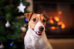 Perro de Jack Russell en la Navidad y el Año Nuevo Fotos de archivo libres de regalías