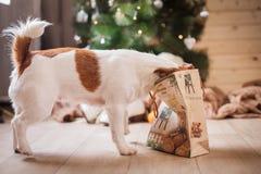 Perro de Jack Russell en la Navidad y el Año Nuevo Fotos de archivo