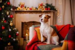 Perro de Jack Russell en la Navidad y el Año Nuevo Fotografía de archivo libre de regalías