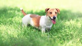 Perro de Jack Russell Terrier en la hierba de la primavera foto de archivo