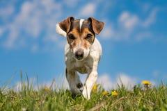 Perro de Jack Russell Terrier en prado floreciente de la primavera delante del cielo azul fotos de archivo