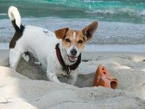 Perro de Jack Russell Terrier que juega con el zapato imagenes de archivo