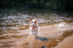 Perro de Jack Russell Terrier que juega en agua imagen de archivo