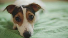 Perro de Jack Russell Terrier que mira la cámara metrajes