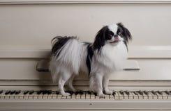 Perro de juguete en piano Foto de archivo