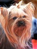 Perro de la élite para los ricos Foto de archivo libre de regalías