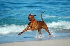 Perro de la acción Fotografía de archivo
