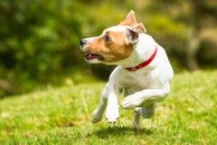 Perro de la acción de la primavera Fotos de archivo libres de regalías
