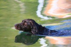 Perro de la agilidad Foto de archivo libre de regalías