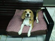 Perro de la amapola Imagen de archivo