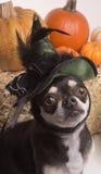 Perro de la bruja de Víspera de Todos los Santos foto de archivo libre de regalías