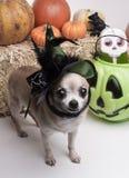Perro de la bruja de Víspera de Todos los Santos Imagen de archivo libre de regalías