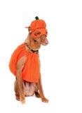 Perro de la calabaza Fotos de archivo