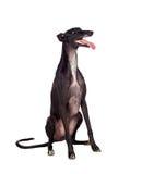 Perro de la casta del galgo Imagen de archivo libre de regalías
