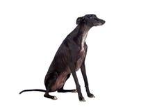 Perro de la casta del galgo foto de archivo libre de regalías