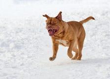 Perro de la casta francesa del mastín que se ejecuta en nieve imágenes de archivo libres de regalías