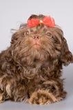 Perro de la casta un perro de regazo Fotos de archivo libres de regalías