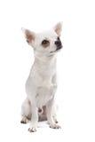 Perro de la chihuahua Foto de archivo