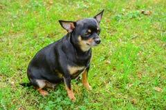 Perro de la chihuahua Imágenes de archivo libres de regalías