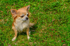 Perro de la chihuahua Fotografía de archivo